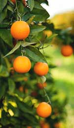 Orange tree in grove