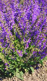 Clary Sage Oil as a Hair Growth Agent in Scalp Massage