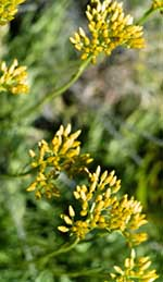 Helichrysum Oil and Its Amazing Ability to Heal and Diminish Scarring