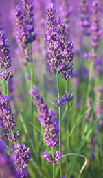 Use Lavender Oil to Reduce Work-Related Stress