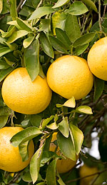 Grapefruit Oil and Its Efficiency in Cellulite Breakdown