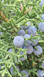 Juniper Berry Oil and its Detoxifying Benefits