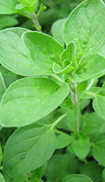 Marjoram Oil for Increased Tissue Oxygenation and Recovery Speed